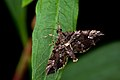 Mariposa Crambidae Intervales 02.jpg