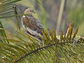 Marsh harrier-kattampally - 5.jpg
