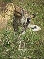 Masai Giraffe Giraffa camelopardalis tippelskirchi in Tanzania 0782 cropped Nevit.jpg