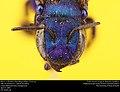 Mason Bee or Blueberry Bee (Megachilidae, Osmia sp.) (33347055015).jpg
