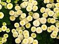 Matricaria eximia (cultivar) 02.JPG