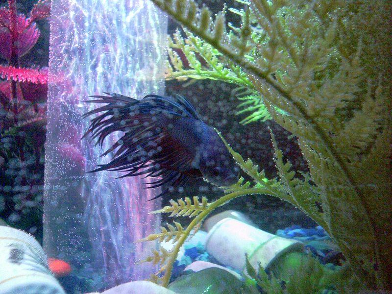 File:Matsya - My Betta Fish 2.JPG