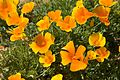 Medium shot of Mexican poppies.jpg