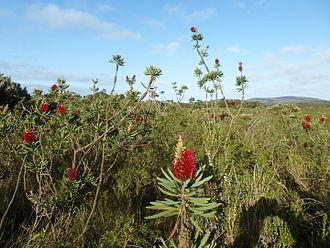 Gull Rock National Park - Melaleuca glauca habit in the park