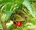 Melianthus comosus 2.jpg
