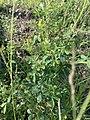 Melilotus indicus plant (04).jpg
