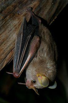 MacConnell's bat httpsuploadwikimediaorgwikipediacommonsthu