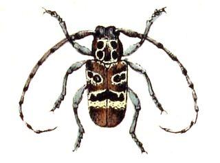 <i>Mesosa</i> genus of insects