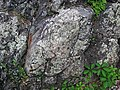 Metamorphosed pillow basalt (Ely Greenstone, Neoarchean, ~2.722 Ga; large glacial erratic along Main Street, Ely, Minnesota, USA) 3.jpg