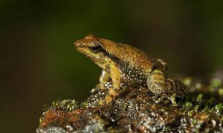 Indian Dancing Frog