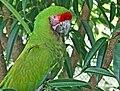 Military Macaw (Ara militaris) RWD2.jpg