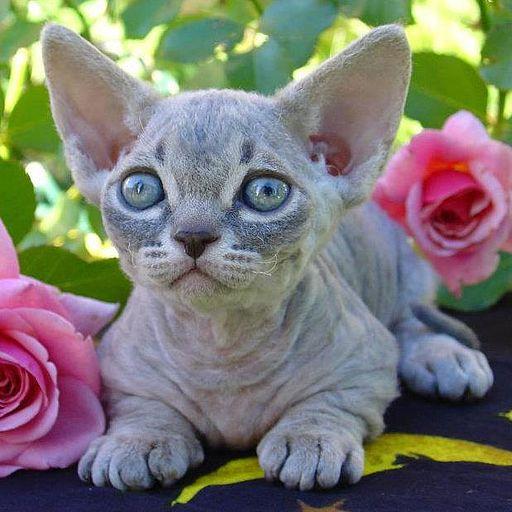 Minskin Kitten Female blue tabby color-pattern