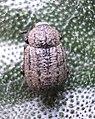 Minyops carinatus.JPG