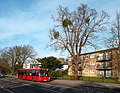 Mistletoe and Bus, Bromley Common - geograph.org.uk - 2721562.jpg