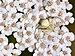 Misumena vatia on Achillea millefolium qtl2.jpg