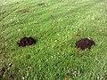 Molehills - geograph.org.uk - 77893.jpg