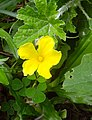 Momordica charantia flower at Rajbiraj, Saptari, Nepal.jpg