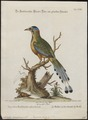 Momotus brasiliensis - 1700-1880 - Print - Iconographia Zoologica - Special Collections University of Amsterdam - UBA01 IZ16700331.tif