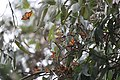 Monarch Butterflies Overwintering in Pacific Grove, California (31297516240).jpg