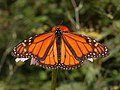 Monarch Butterfly Danaus plexippus Male 2664px.jpg