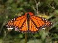 Monarkfjäril. Foto: Derek Ramsey / Wikipedia