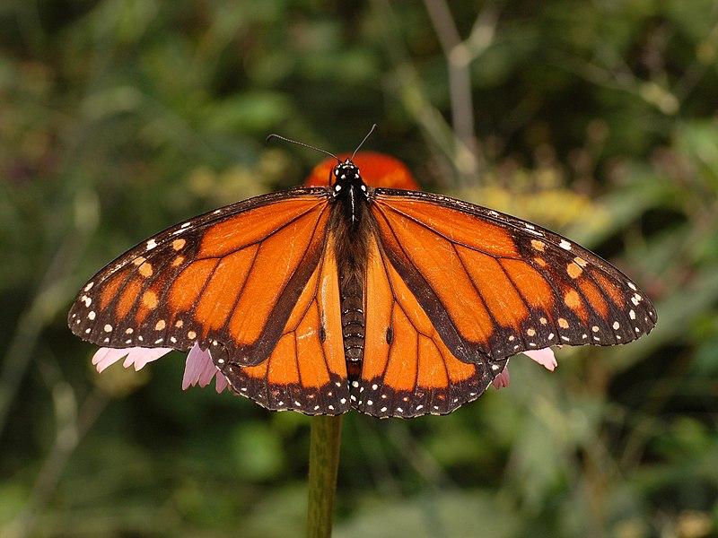 Ficheiro:Monarch Butterfly Danaus plexippus Male 2664px.jpg