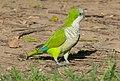 Monk Parakeet (Myiopsitta monachus) Buenos Aires.jpg