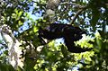 Mono aullador negro, Alouatta pigra (23387861183).jpg