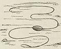 Montpetit - Poissons d'eau douce du Canada, 1897 (page 414 crop) fig 113.jpg