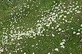 Moon daisies and ragged robin - geograph.org.uk - 959672.jpg