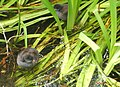 Moorhen chicks - geograph.org.uk - 1396829.jpg
