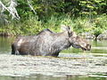 Moose in Little Joe Lake.JPG