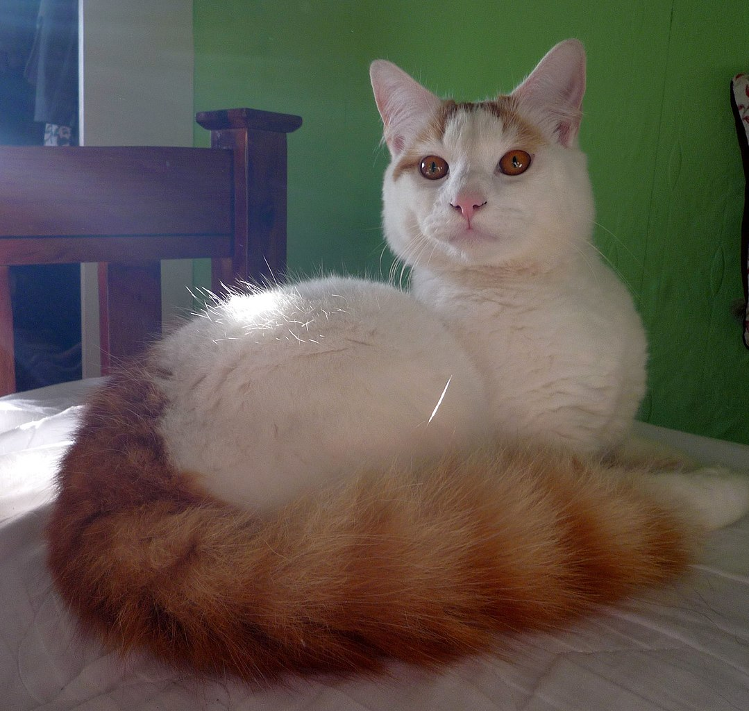 Cat: File:Morris, A Cat Of The Turkish Van.jpg