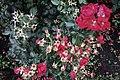 Moscow, VDNKh, roses in October (21984733240).jpg
