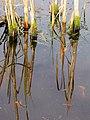Mosgroei op oude stengels van de grote lisdodde (Typha latifolia). Locatie, De Famberhorst 02.JPG