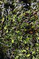 Moss - Grimmia pulvinata (23978666614).jpg