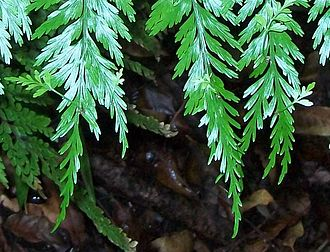 Tasmanian temperate rainforests - New plantlets forming at the end of the fronds of the Mother spleenwort