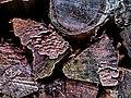 Mouldy wood - Flickr - Stiller Beobachter.jpg