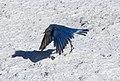 Mountain Blue Bird 1 (8039006400).jpg