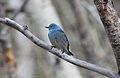 Mountain Bluebird (Sialia currucoides) (8732009207).jpg