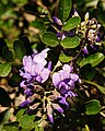 Mountain Laurel (5508251292).jpg