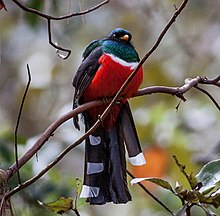 Mountain Trogon (Trogon mexicanus) (8079378444).jpg