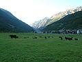 Mucche scese dall'alpeggio - Festa della desarpa Cogne 2.JPG