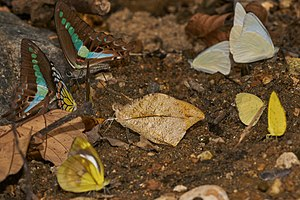 Aralam Wildlife Sanctuary - Mud-puddling several butterflies (Hebomoia glaucippe, Graphium teredon, Prioneris sita, Cepora nadina, Appias albina and Eurema hecabe) from the dry stream bed at Aralam Wildlife Sanctuary.