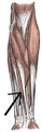 Musculusflexordigitorumsuperficialis.png
