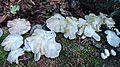 Mushroom colony (21261783730).jpg