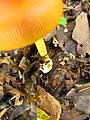 Mushrooms! Mill Trail Umstead NC SP 4265 (6641252811) (2).jpg