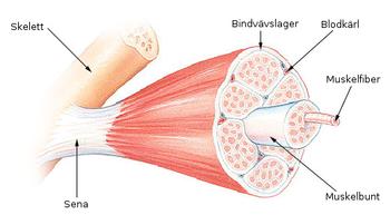 antal muskler i kroppen