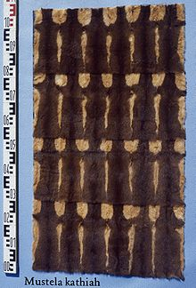 Mustela kathiah (Yellow bellied weasel) fur skins.jpg