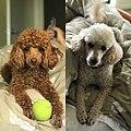 My Poodles .jpg